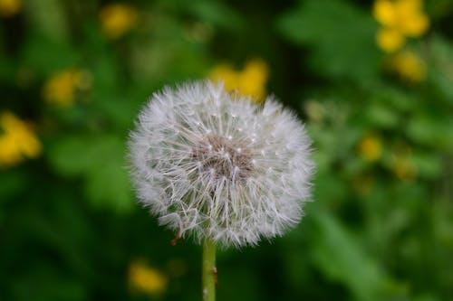 белыйпушистыйодуванчик, ботаника, зеленый, летомの無料の写真素材