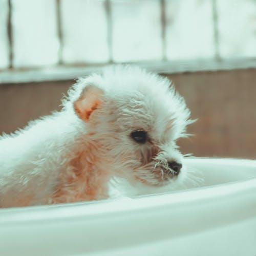Foto profissional grátis de animal de pequeno porte, bernese, Branca de Neve, branco