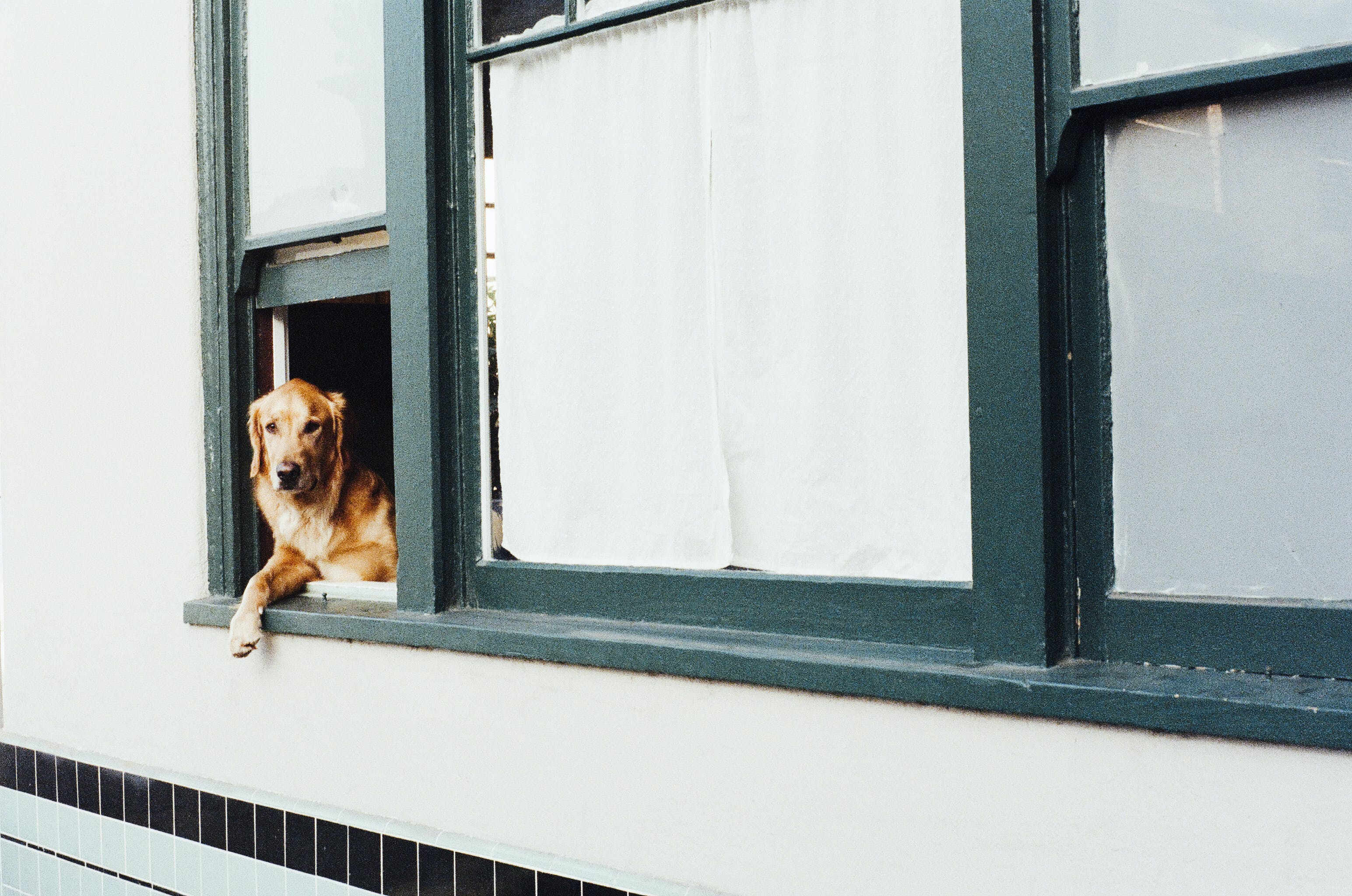 Adult Dark Golden Retriever on Window