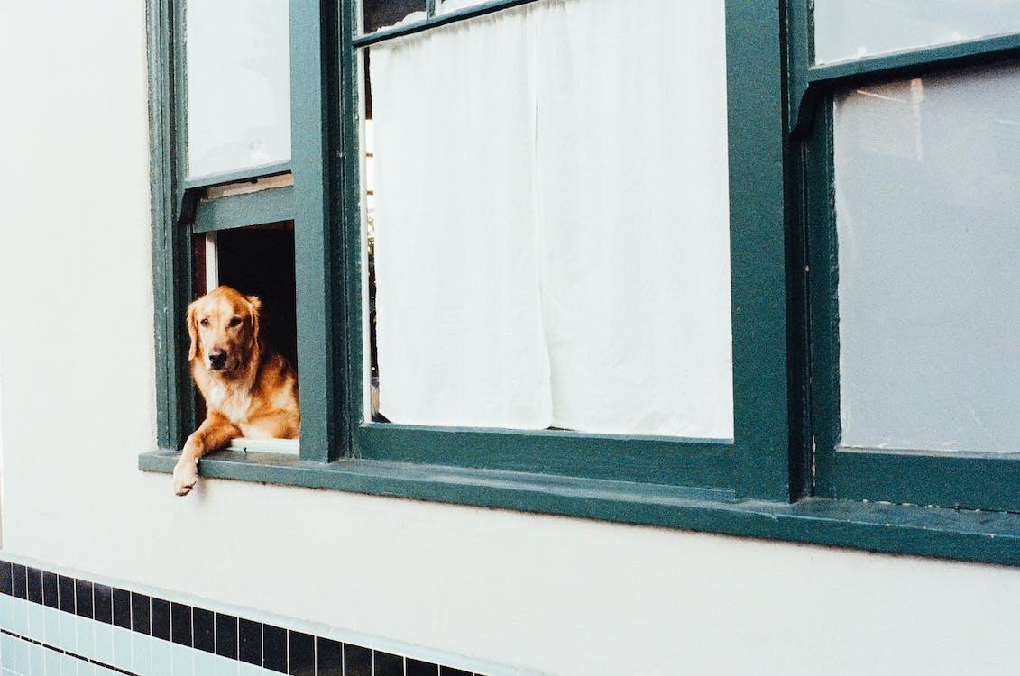 Adult Dark Golden Retriever on Window