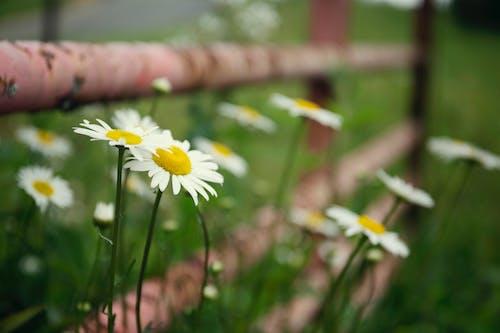 Imagine de stoc gratuită din floare, flori, flori frumoase, margarete albe