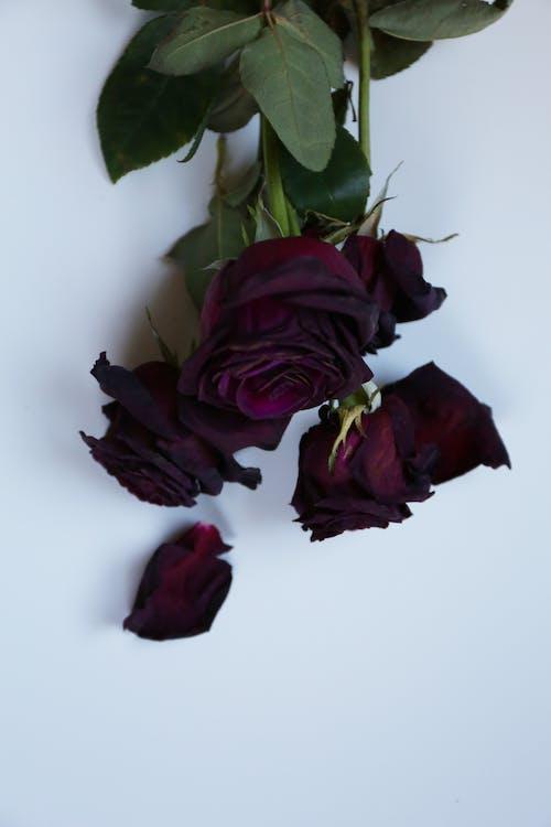 Imagine de stoc gratuită din trandafiri, trandafiri roșii