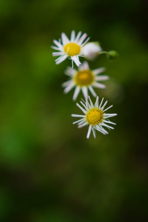 Free stock photo of flower, nature, trio, white and yellow