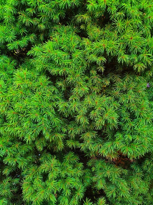 Free stock photo of garden, green, larch