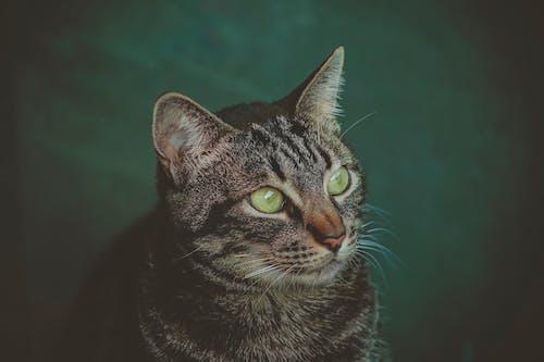 Безкоштовне стокове фото на тему «вуса, домашній кіт, кішка, погляд»