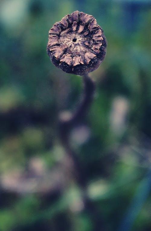 Photos gratuites de automne, centrales, coquelicot, flore