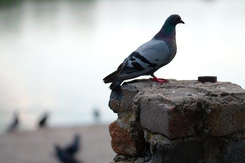 Darmowe zdjęcie z galerii z cegły, gołąb, jezioro, natura