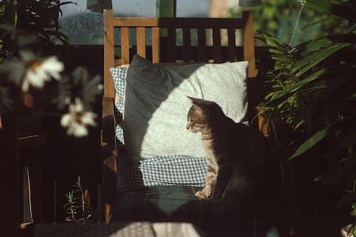 Безкоштовне стокове фото на тему «дерев'яний стілець, домашній кіт, домашня тварина, заводи»