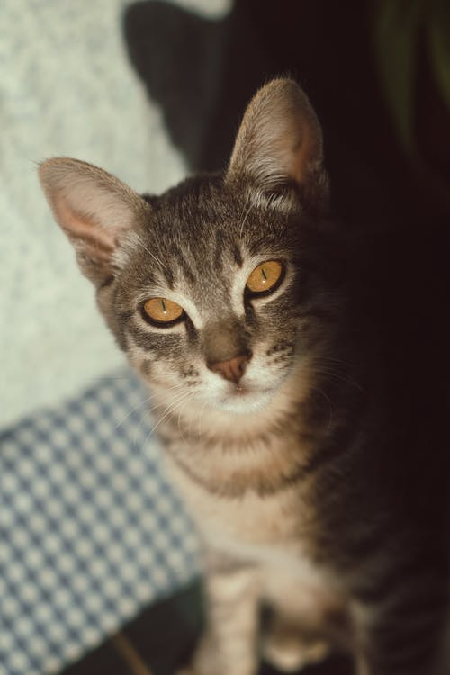 açık, kedi, kedi gözü, kedi surat içeren Ücretsiz stok fotoğraf
