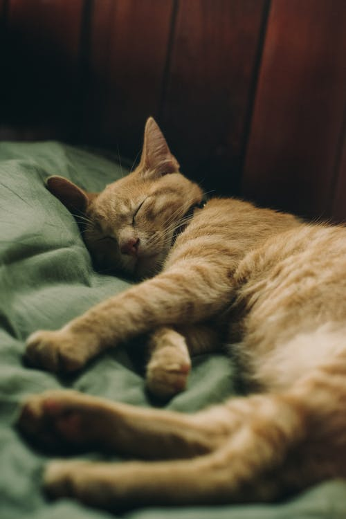 Close-Up Photo of Sleeping Tabby Cat