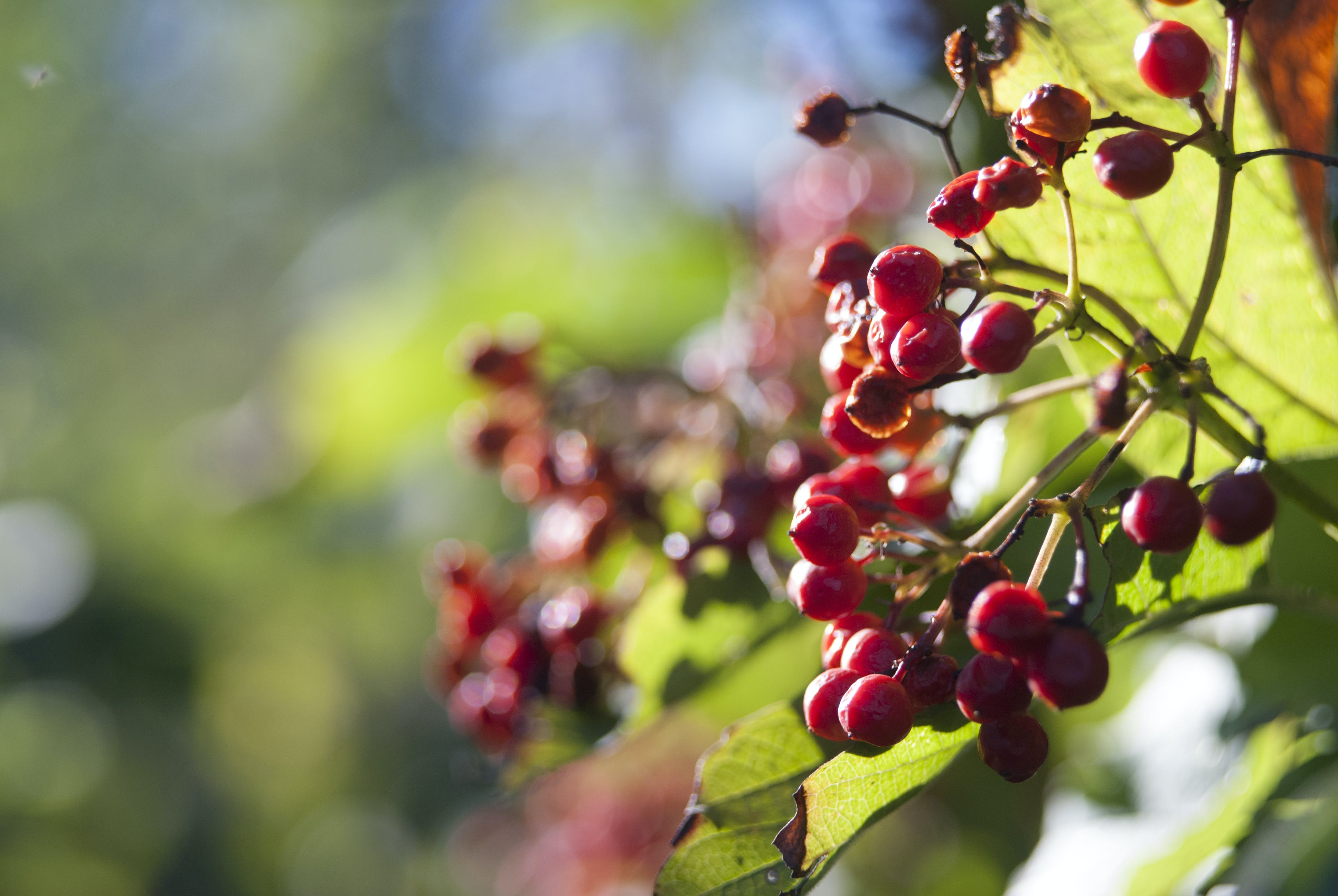 Free stock photo of autumn, berries, cranberry, fruits