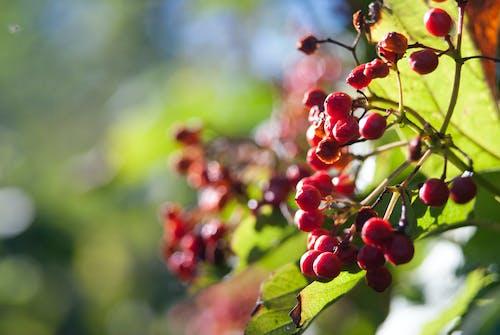 水果, 漿果, 烏克蘭, 紅色 的 免费素材照片