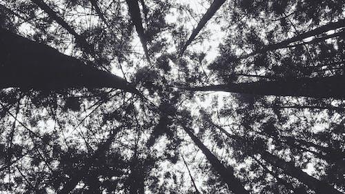 Foto d'estoc gratuïta de arbre, arbres alts, bosc, coberta forestal