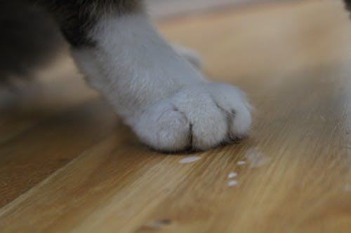 Free stock photo of paw, pussy cat