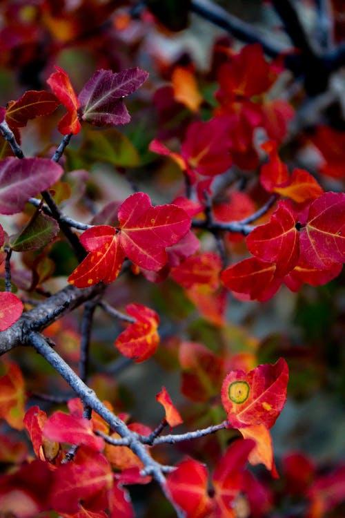 Gratis lagerfoto af røde blade