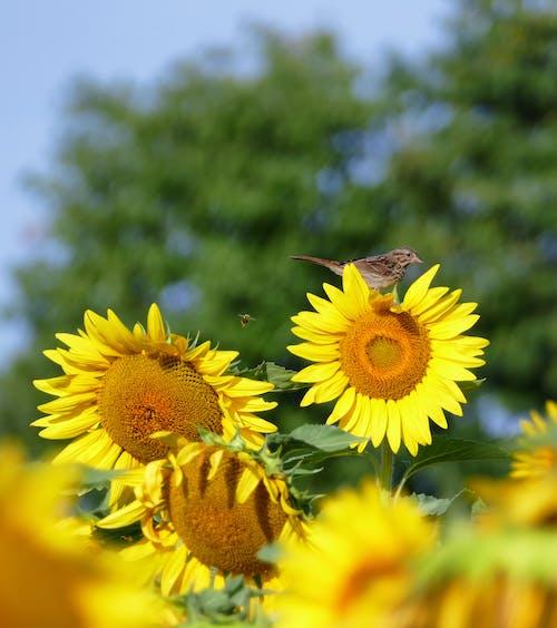 Бесплатное стоковое фото с желтый, подсолнечник, птица, Пчела