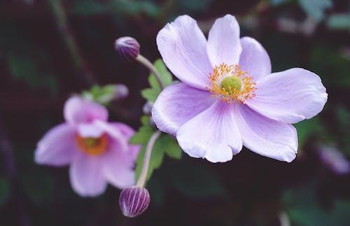 Photos gratuites de centrales, fleur, fleur rose, fleurs roses