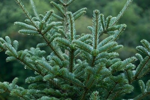 คลังภาพถ่ายฟรี ของ agbiopix, การเกษตร, ต้นคริสต์มาส, ภูเขา