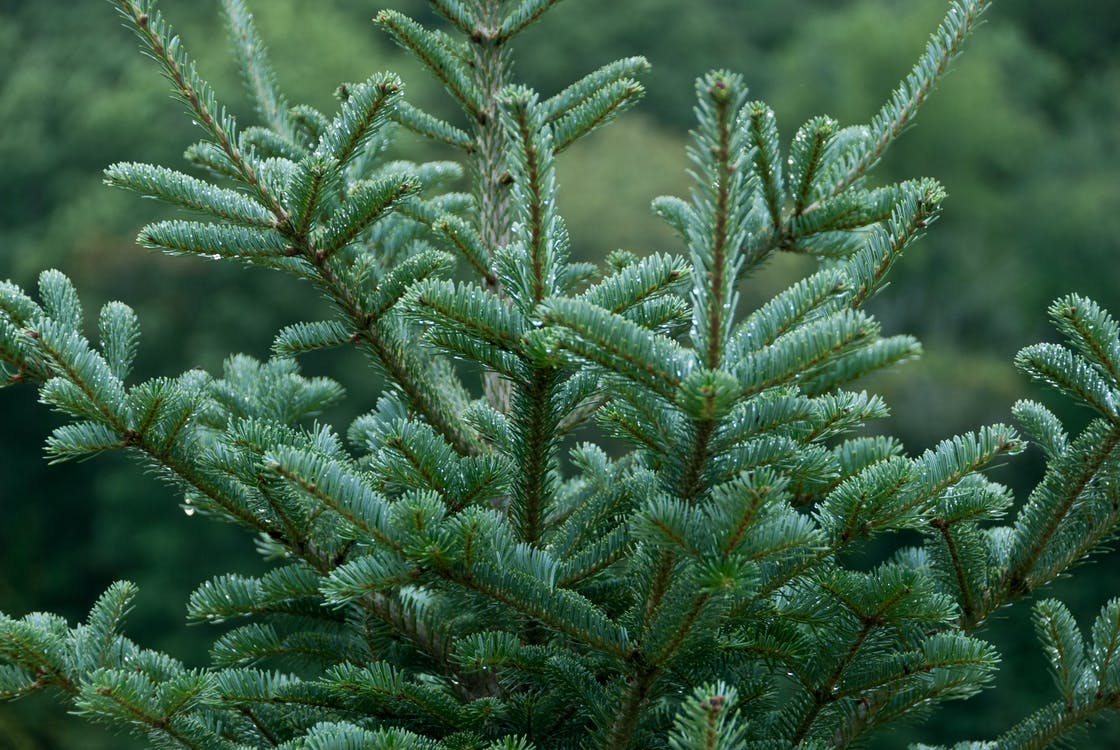 agbiopix, การเกษตร, ต้นคริสต์มาส