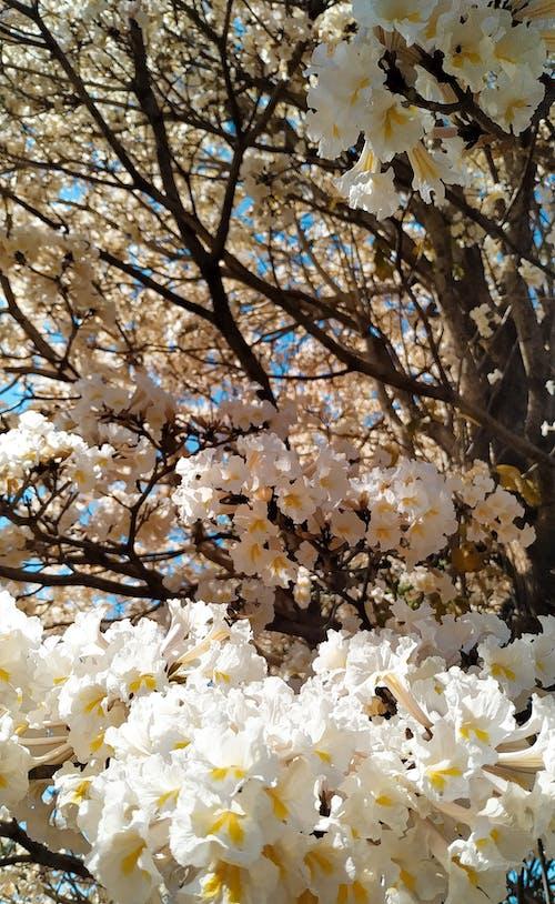 Fotobanka sbezplatnými fotkami na tému biele kvety, fotografia prírody, krása v prírode, kvitnúci strom