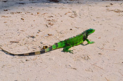 Бесплатное стоковое фото с багамские о-ва, дикие животные, дикое животное, зеленая игуана