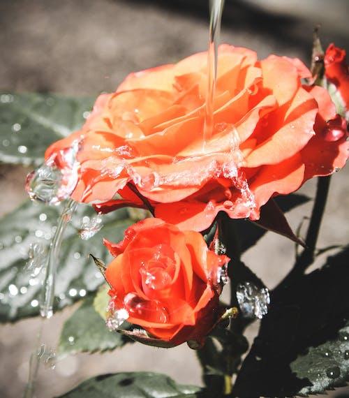 дождь, капли, лепестки, роза의 무료 스톡 사진