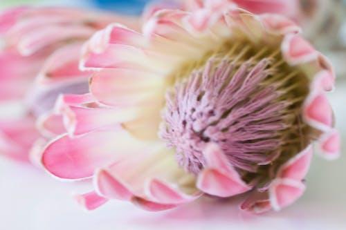 Ingyenes stockfotó fynbos, gyönyörű virág, protea, virágok témában