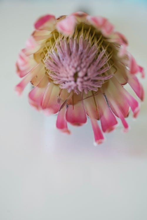Ingyenes stockfotó fynbos, gyönyörű virágok, protea, virágok témában