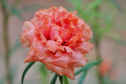 Free stock photo of flower, orange color, rose flower