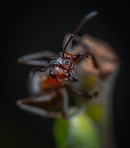 Kostnadsfri bild av insekt, makro, myra