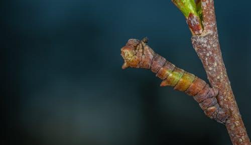 Kostnadsfri bild av härmning, insekt, larv, makro