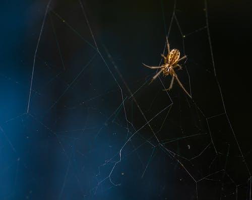 Kostnadsfri bild av makro, Spindel, spindelnät
