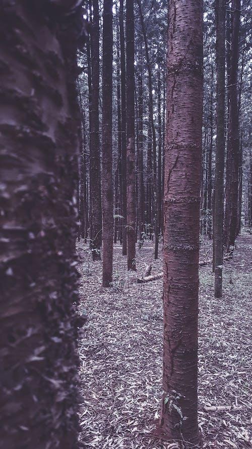 Foto d'estoc gratuïta de arbres, bosc, coberta forestal, escorça d'arbre
