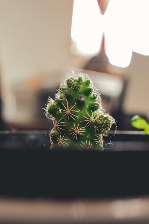 Ilmainen kuvapankkikuva tunnisteilla kaktuksenkukka, kaktus, kukka, pexels