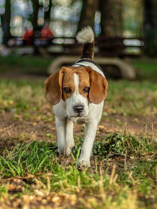公園, 狗, 狗公園, 米格魯 的 免費圖庫相片