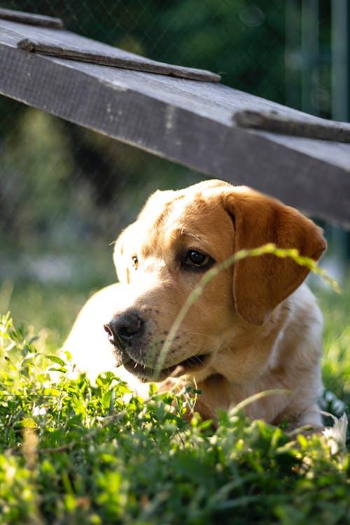 公園, 悲傷的眼睛, 拉布拉多犬, 狗 的 免費圖庫相片
