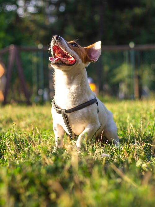 傑克羅素, 公園, 動物, 可愛的狗 的 免費圖庫相片