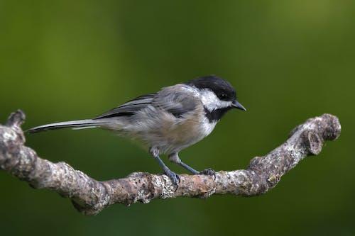 Foto stok gratis bertengger di dahan pohon, bokeh, burung, chickadee