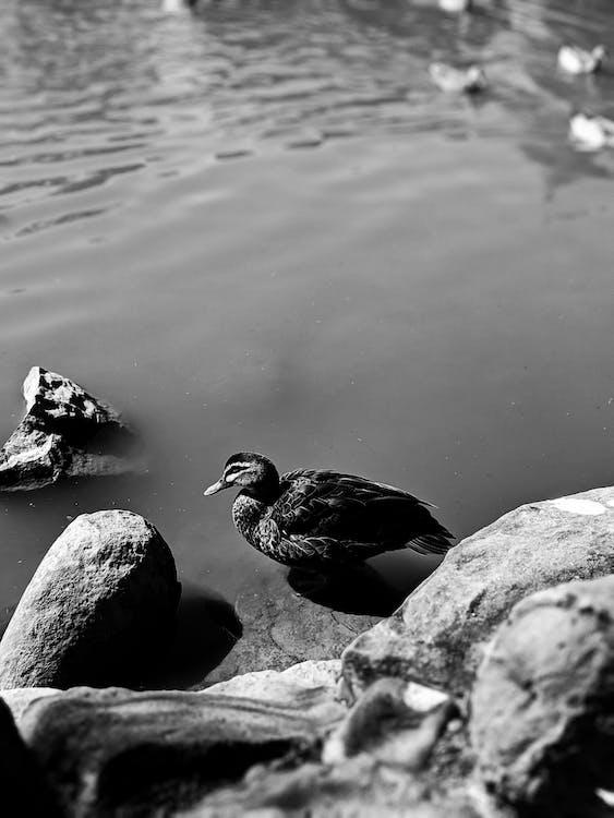 alb-negru, animal, apă