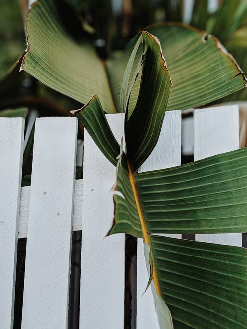 Banana Leaf On A Wooden Fence