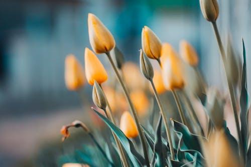 คลังภาพถ่ายฟรี ของ ดอกทิวลิป, ดอกไม้, ต้นไม้, พฤกษา