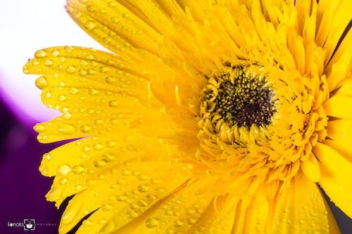 保護, 向日葵, 向日葵田, 坦率摄影 的 免费素材照片
