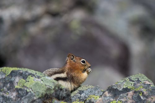 Free stock photo of chipmunk