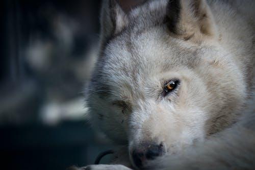 Free stock photo of husky, siberian husky, white dog