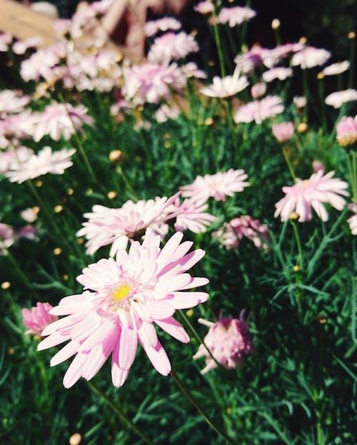 Δωρεάν στοκ φωτογραφιών με ανθοδέσμη, ομορφιά στη φύση, όμορφο λουλούδι, ροζ λουλούδι