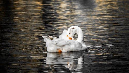 Foto stok gratis bebek, burung bebek, burung putih, cahaya dan bayangan