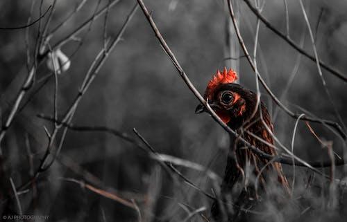 Foto stok gratis ayam betina, background hitam, dramatis, kontras
