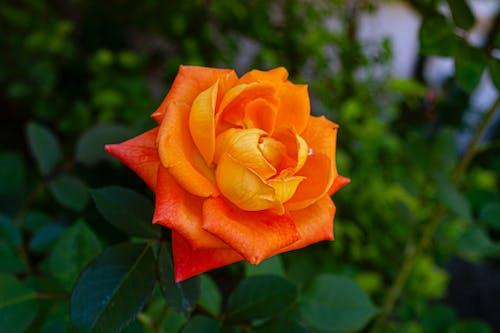 Imagine de stoc gratuită din aproape, floare, flor, folha
