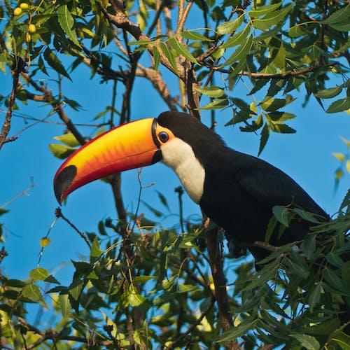 Foto profissional grátis de árvore, tucano