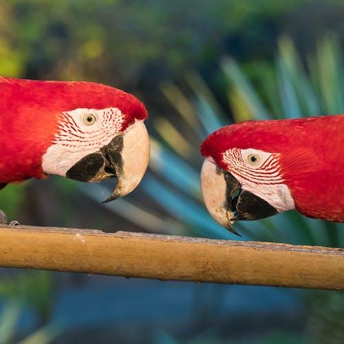 Foto profissional grátis de alimentando, papagaios, pássaros vermelhos
